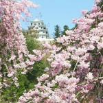 郡上八幡城 桜風景