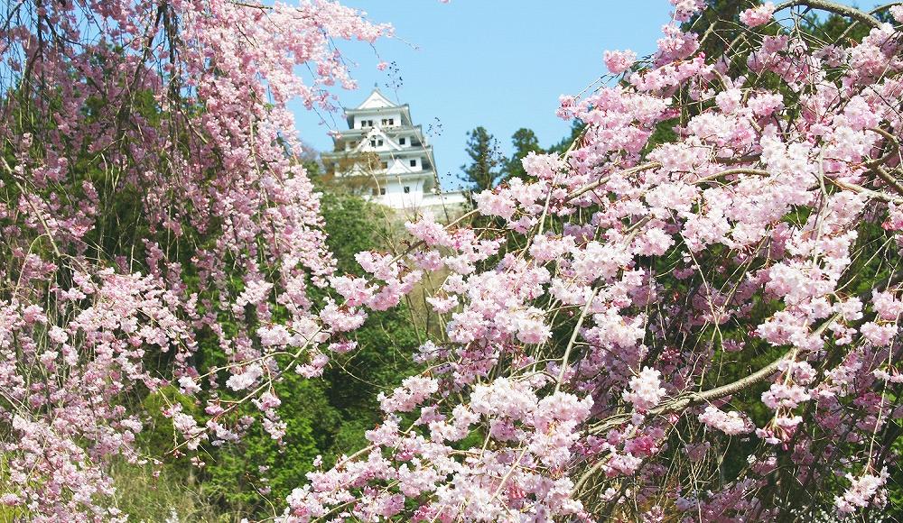 桜と郡上八幡城遠景