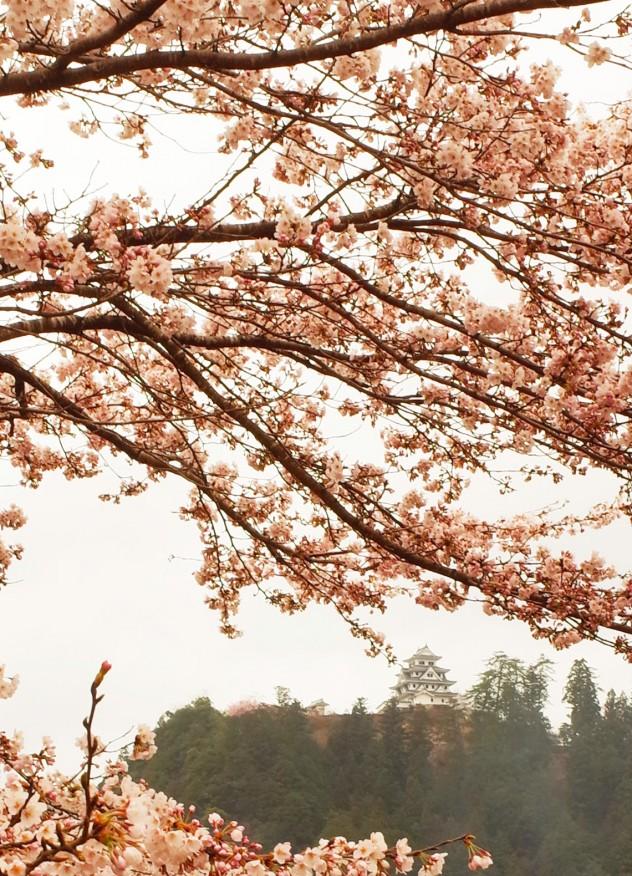 八幡城と桜a