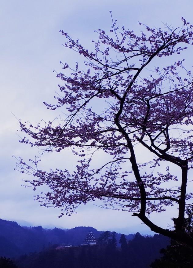 八幡城と桜b